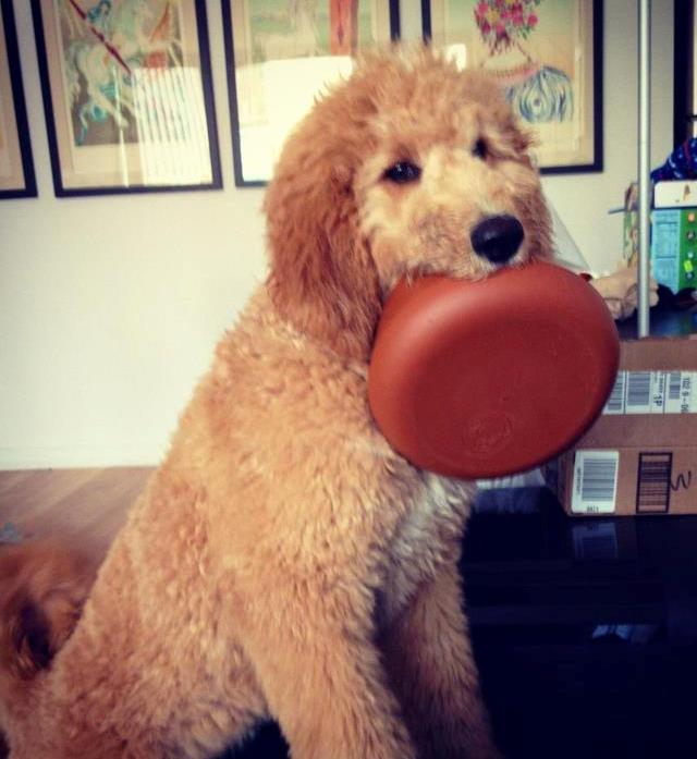 Doodle Puppy Frisbee Photo