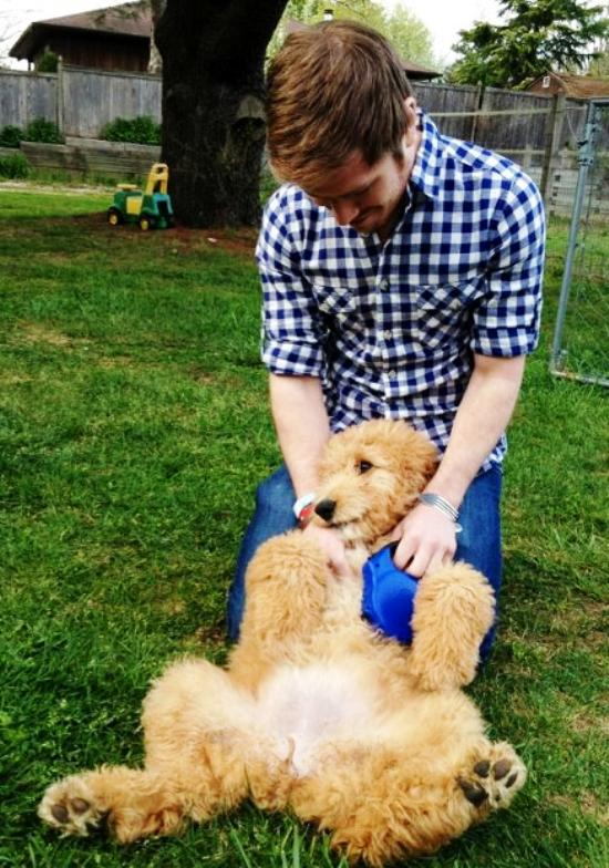 cutest-golden-doodle-puppy-laying-down