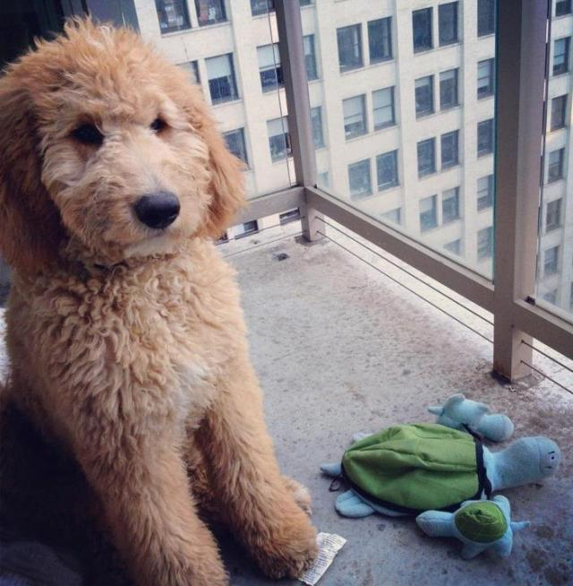 Cutest Golden Doodle Puppy Sitting