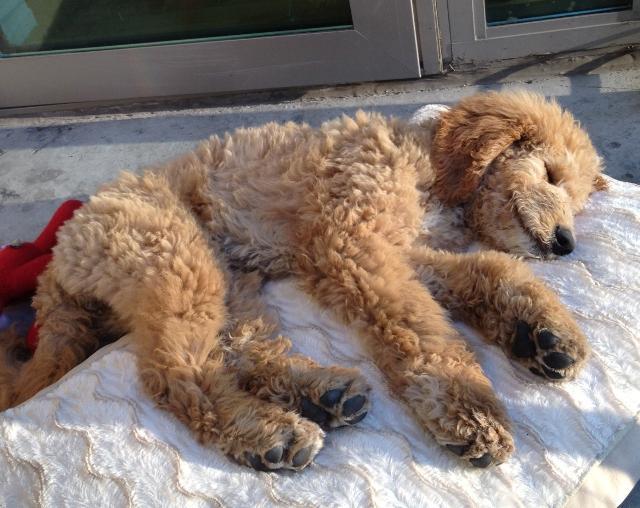 cutest-golden-doodle-puppy-sleeping