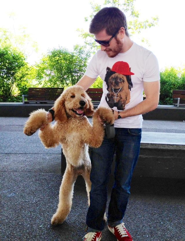 cutest-golden-doodle-puppy-standing