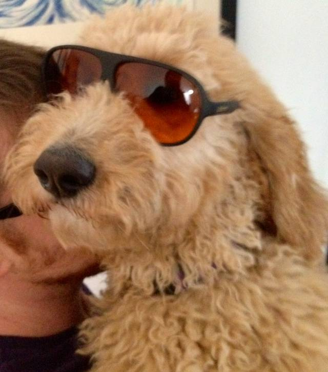 cutest-golden-doodle-puppy-sunglasses