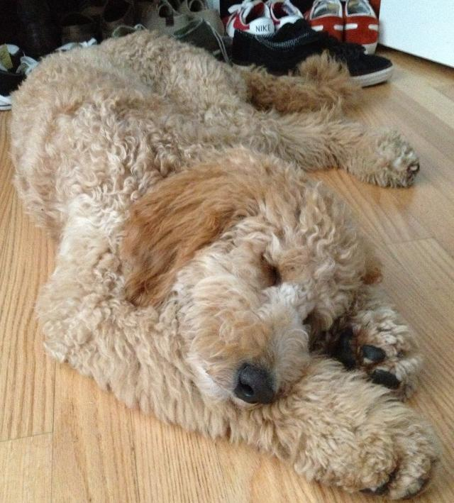 cutest-golden-doodle-puppy-tired