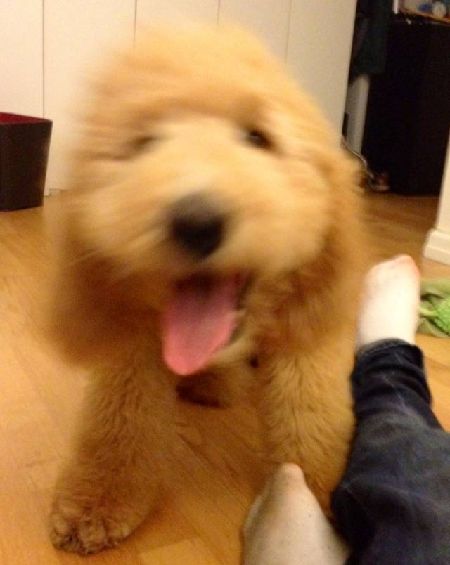 cutest-golden-doodle-puppy-tongue