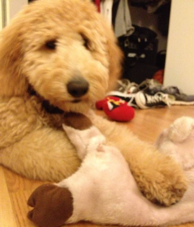 cutest-golden-doodle-puppy-toy