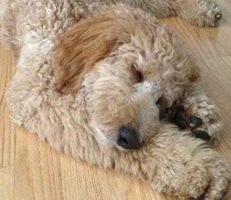 cutest-golden-doodle-puppy