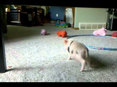 Video thumbnail for youtube video Hamlet The Mini Pig