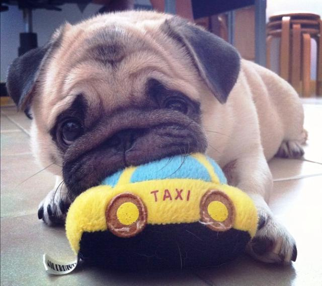 Honey the Pug Eating His Toy