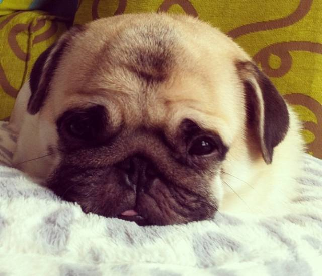 The Cutest Pug Ever