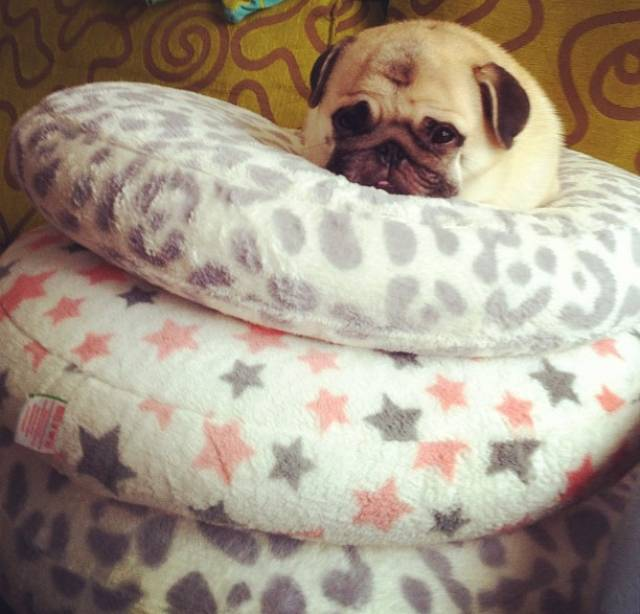 Honey the Adorable Pug Pillows