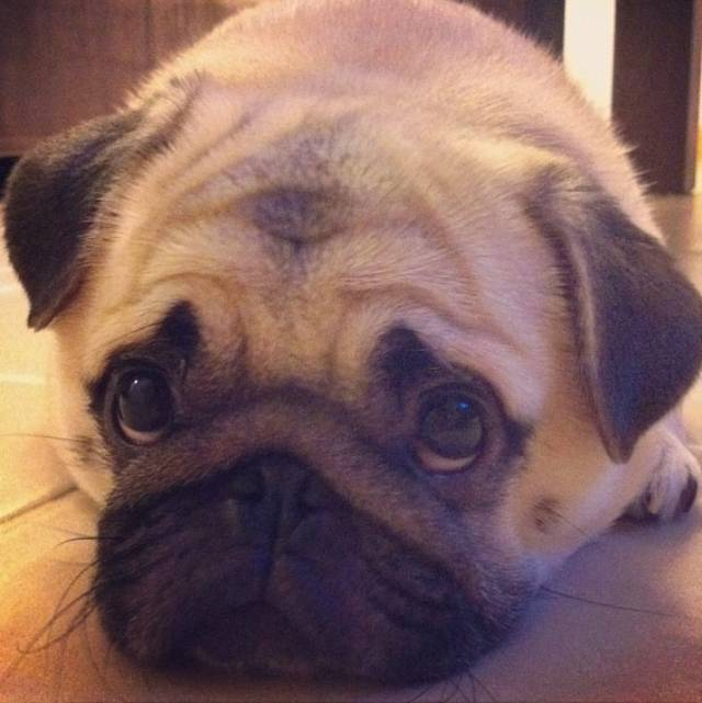 honey-cutest-pug-sad