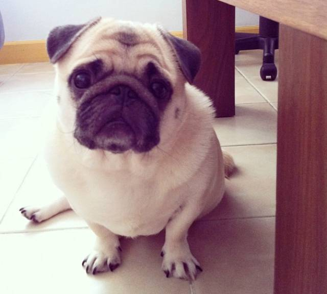 Honey the Cute Pug Sits