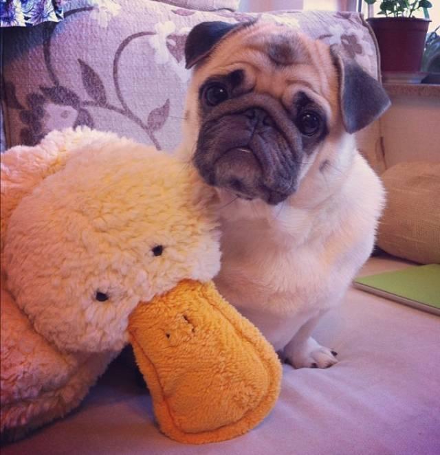 honey-cutest-pug-stuffed-duck