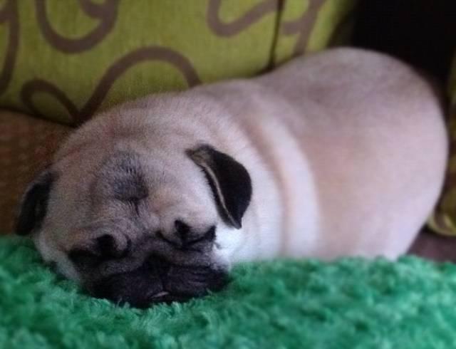 honey-cutest-pug-tired