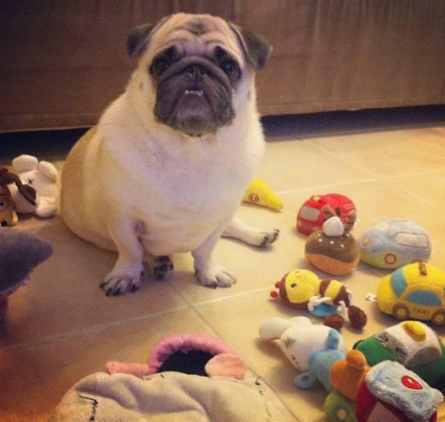 honey-cutest-pug-toys
