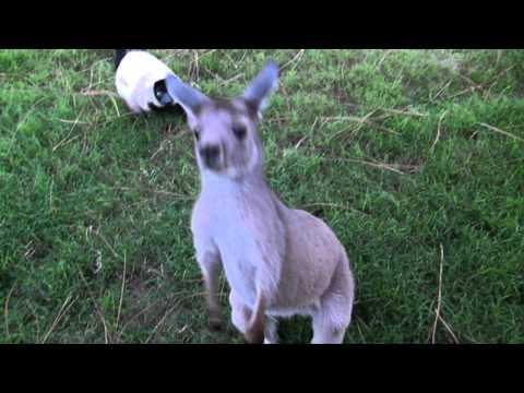Kangaroo And Lemur Play Tag