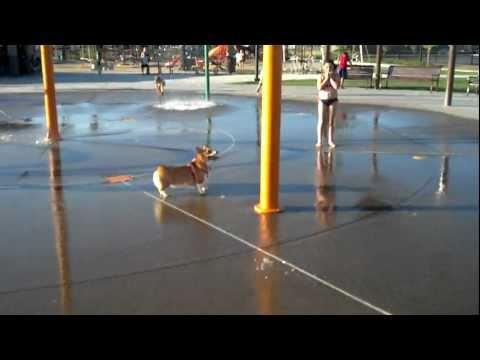 Corgi Loves The Water Park