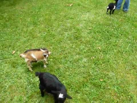 """A Baby Goat """"Plays"""" With Friends"""