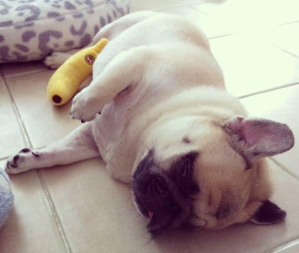 honey-cute-pug-sleeping-side