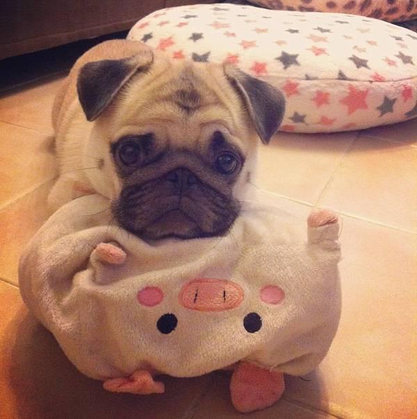 Aww Honey The Pug