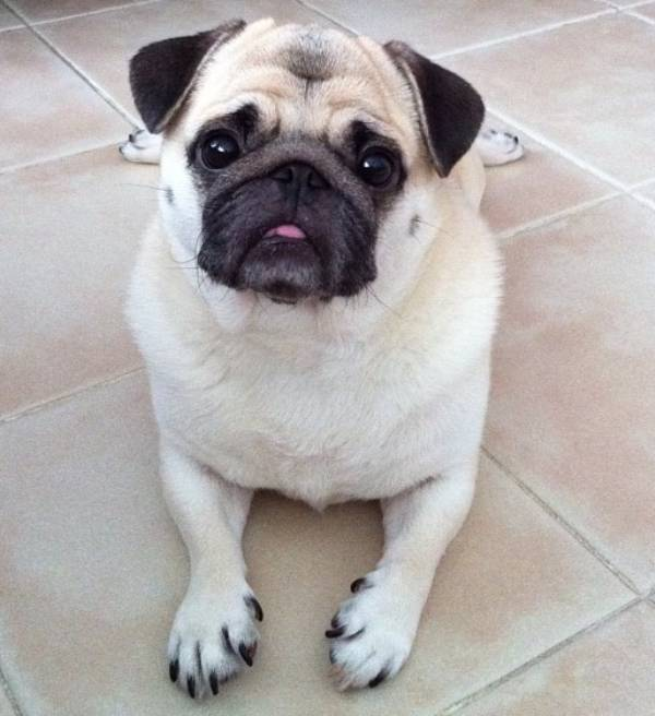 Cute Honey the Pug