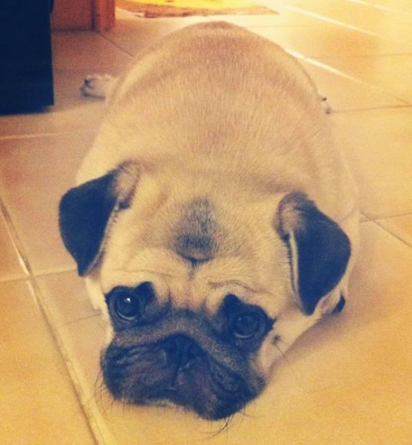 honey-cutest-pug-laying
