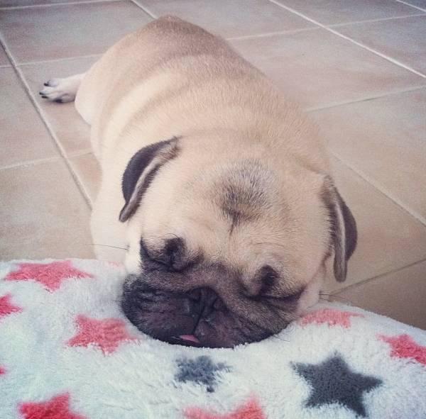 honey-cutest-pug-nap