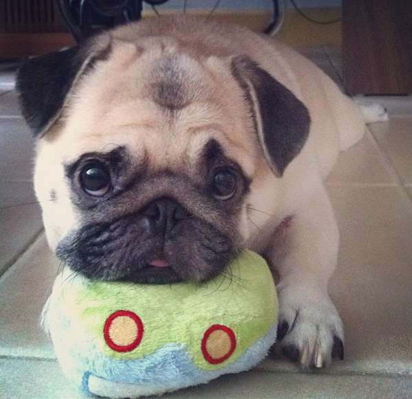 Honeys Puppy Pug Eyes