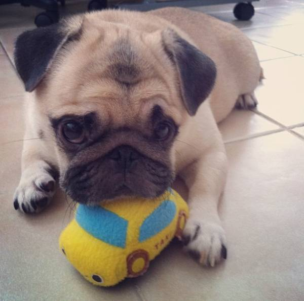 Honey the Pug As A Puppy