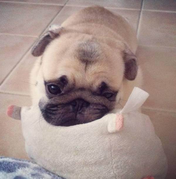 honey-cutest-pug-puppy