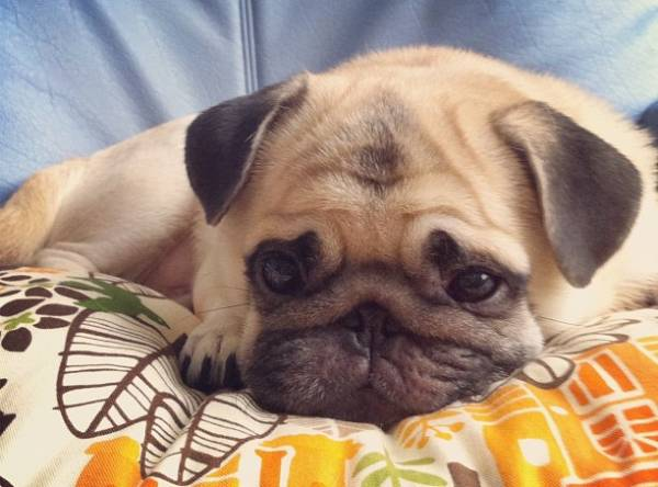 Honey the Pug Sad