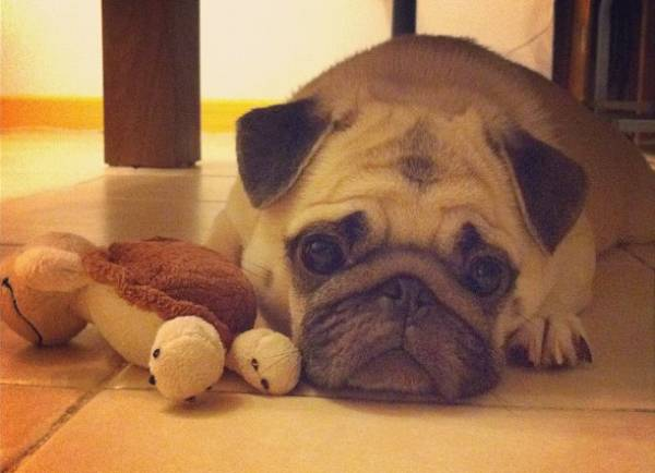 Cute Pug Smushed Face