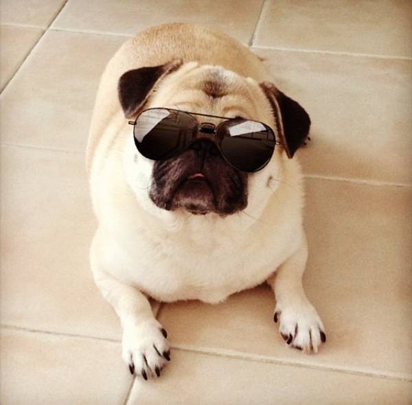 honey cutest pug sunglasses More Of Honey, The Cutest Pug Ever