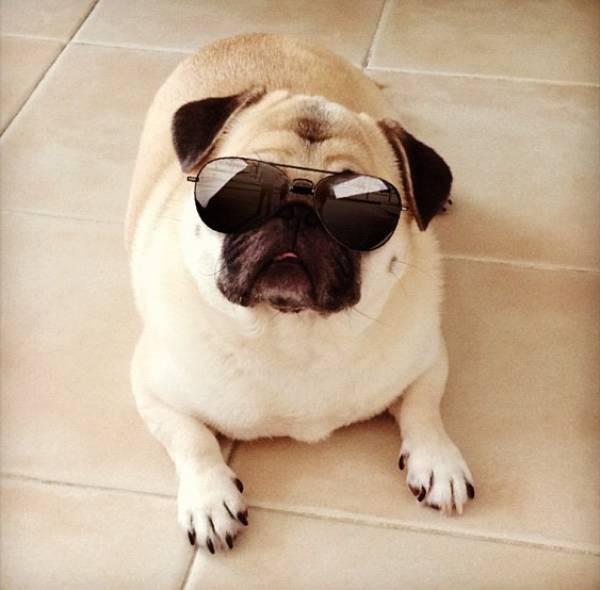 honey-cutest-pug-sunglasses
