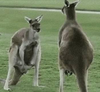 kangaroos-humans