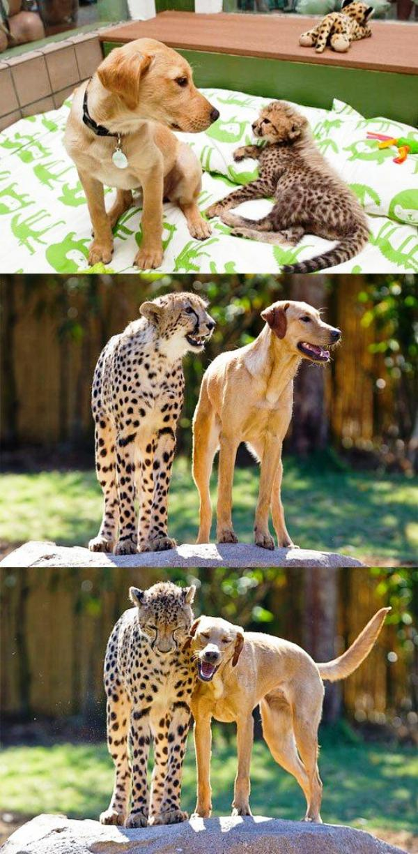 Leopard and Dog Become Best Friends