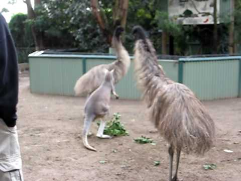 A Kangaroo And Emu Duke It Out