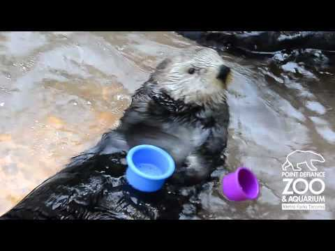 Video thumbnail for youtube video A Cute Cup-Stacking Otter