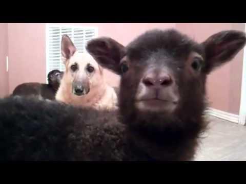 Video thumbnail for youtube video A Talking Lamb
