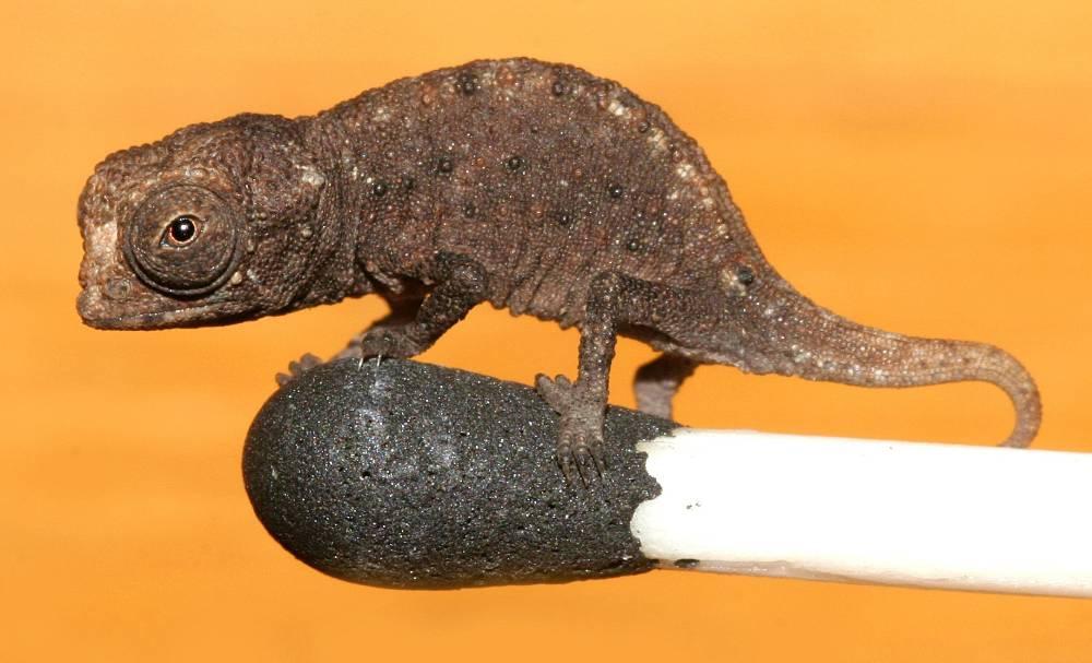 Best Of – Tiny Chameleon