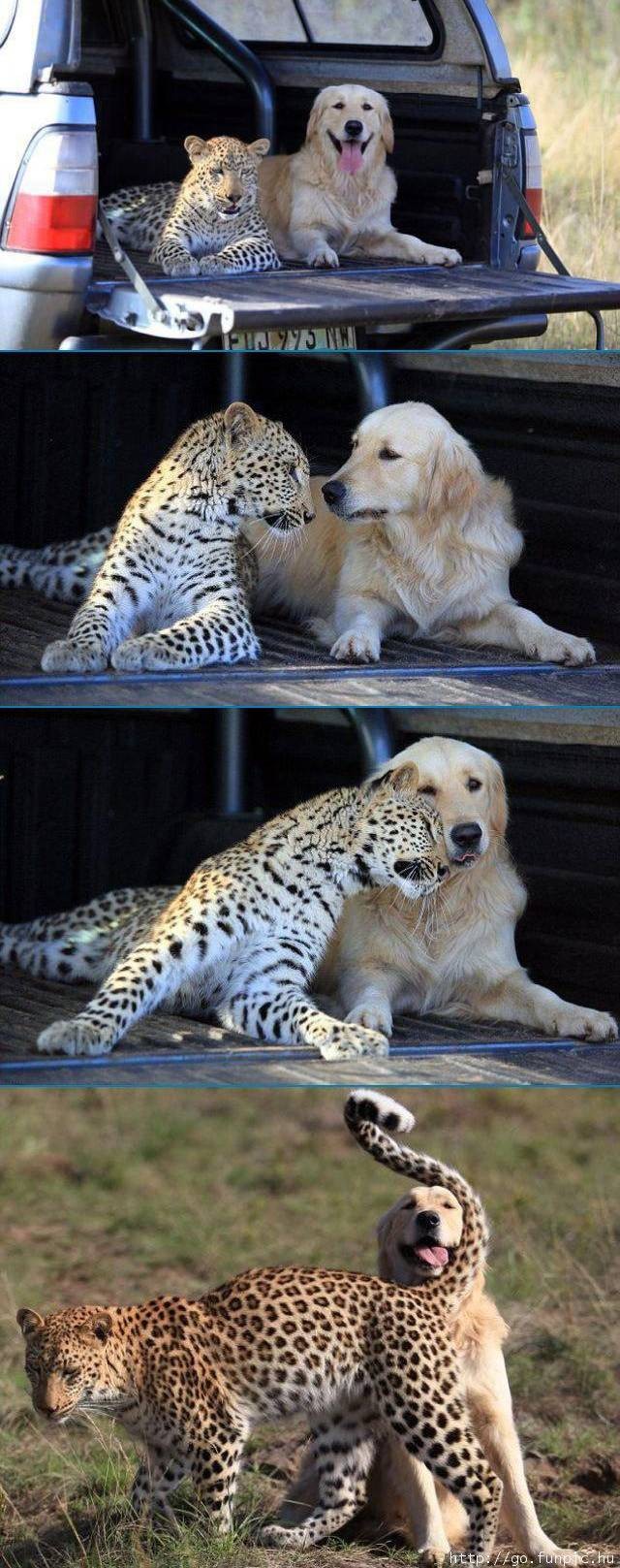 cheetah-labrador-friendship