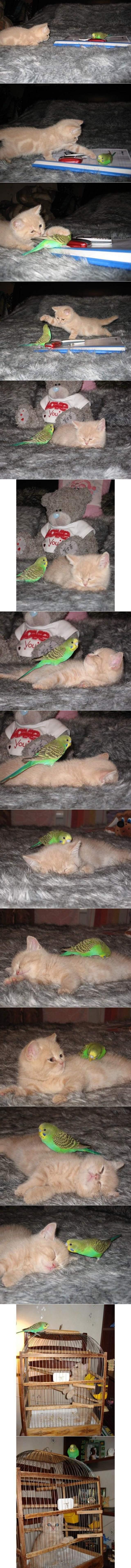 Hilarious Parakeet and Kitten Friends