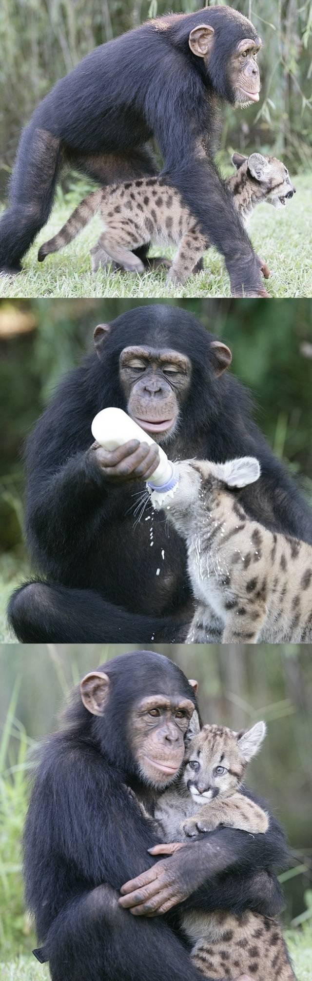 Chimpanzee Raises Puma Cub