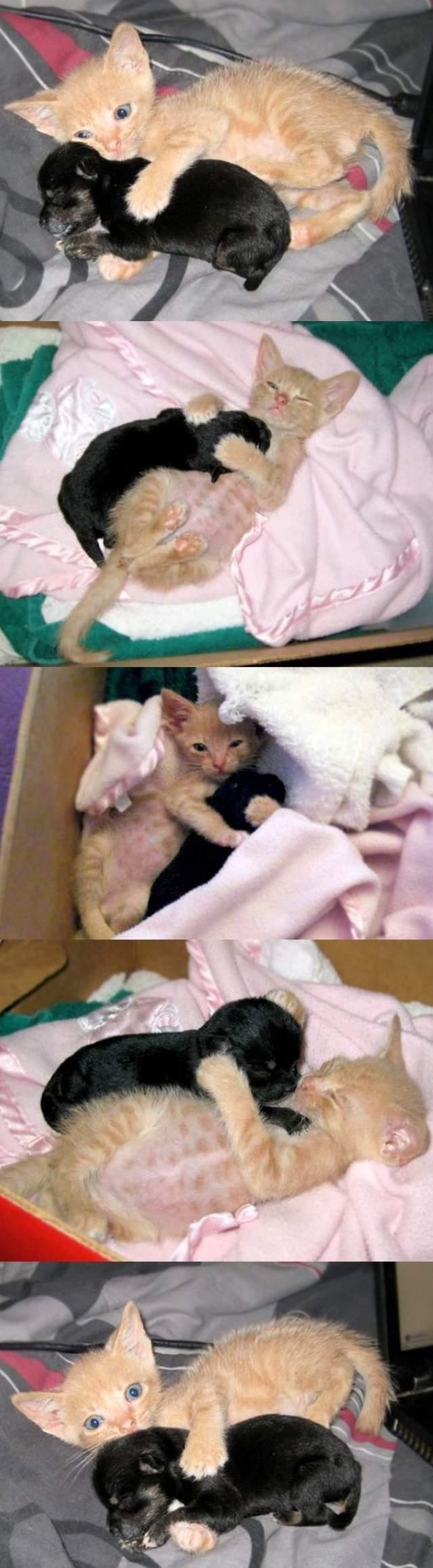 Unusual Animal Friendships Puppy Kitten Friends