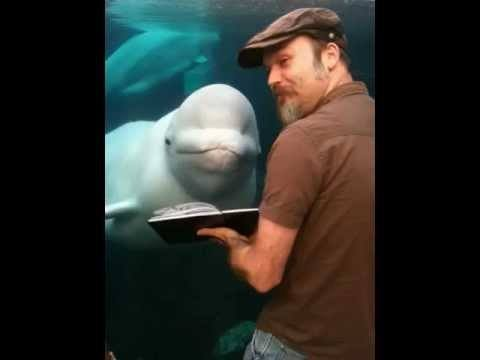 Video thumbnail for youtube video The Beluga Whale, Strangest Fan Ever