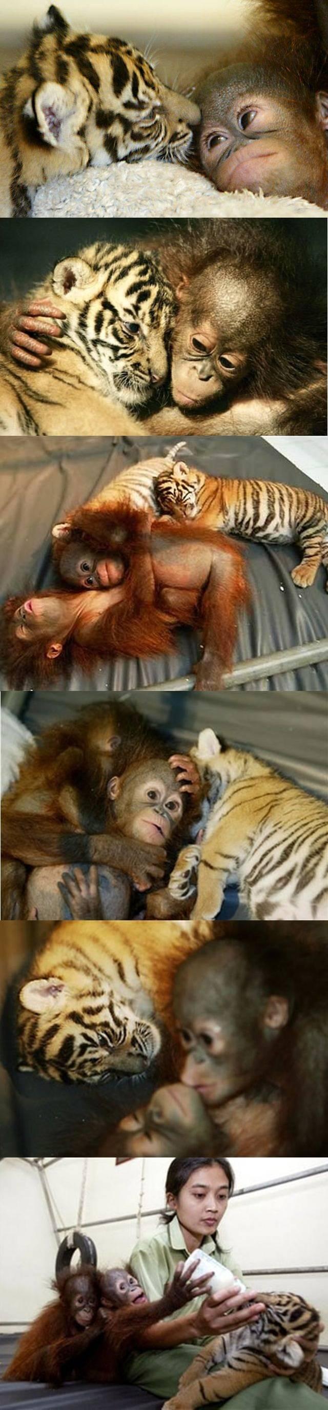 Orangutan Helps Hand Raise Tiger Cubs