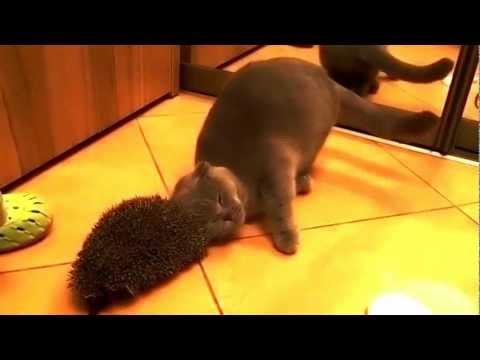 Cat Uses Hedgehog As A Brush