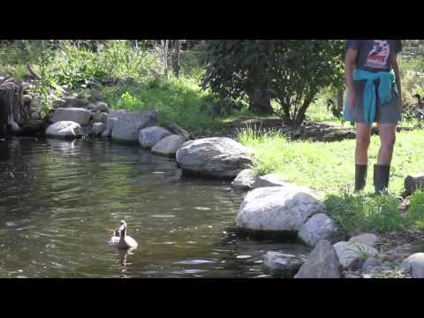 Neglected Ducks See Water For First Time