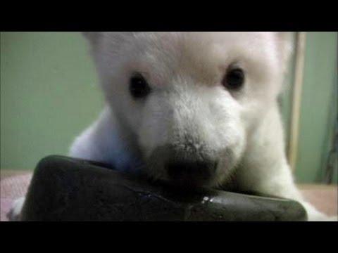 Teaching A Baby Polar Bear To Walk