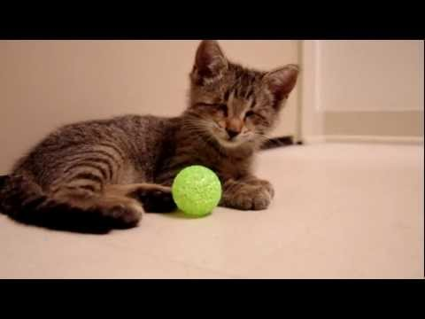 Blind Kitten Plays With It's First Toys